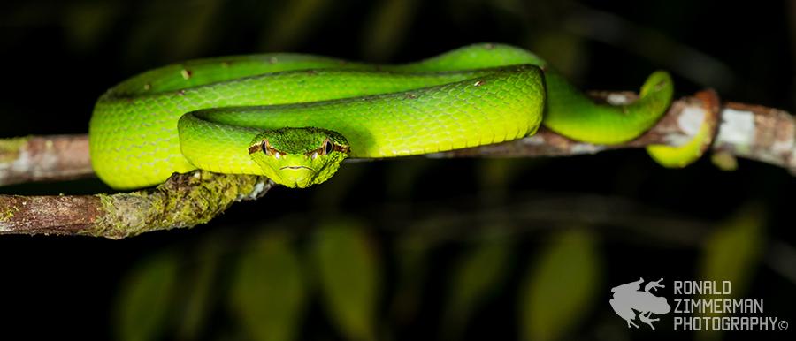Bornean Keeled Green Pit Viper (Tropidolaemus subannulatus)