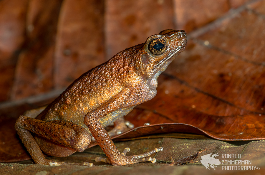 Brown Slender Toad (Ansonia leptopus)