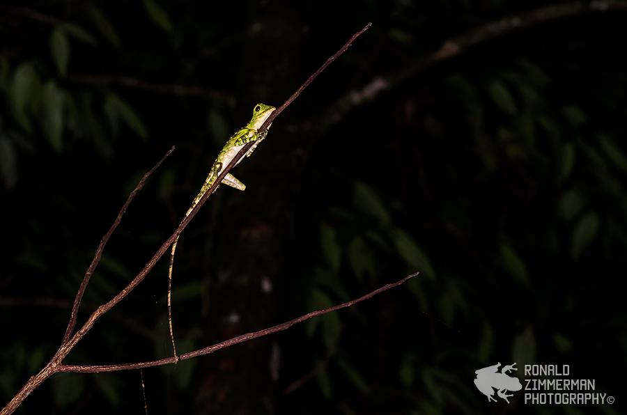 Bornean Angle-headed Lizard (Gonocephalus bornensis)