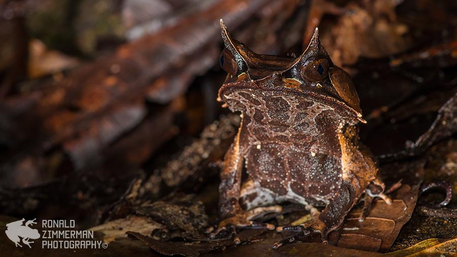 Bornean Horned Frog / Bornean Horned Toad (Megophrys nasuta)