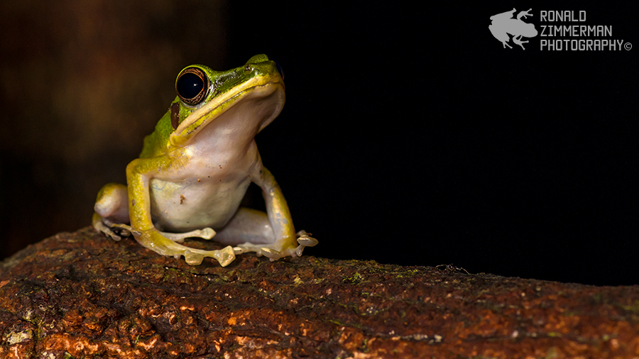 White-lipped Frog (Rana chalconota)