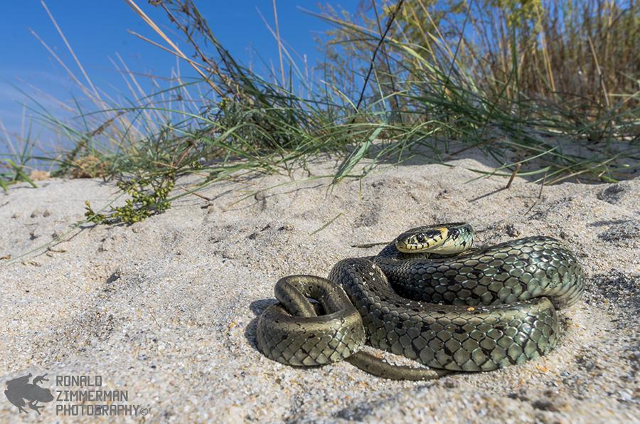 Grass Snake (Natrix natrix)