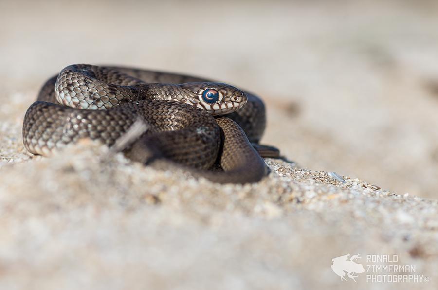 Caspian Whip Snake (Dolichophis caspius) juv.