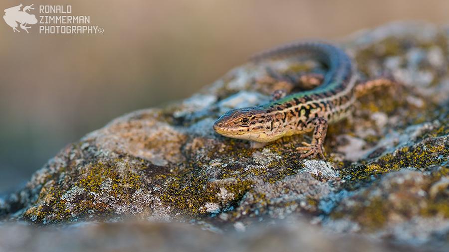 Balkan Wall Lizard (Podarcis tauricus)