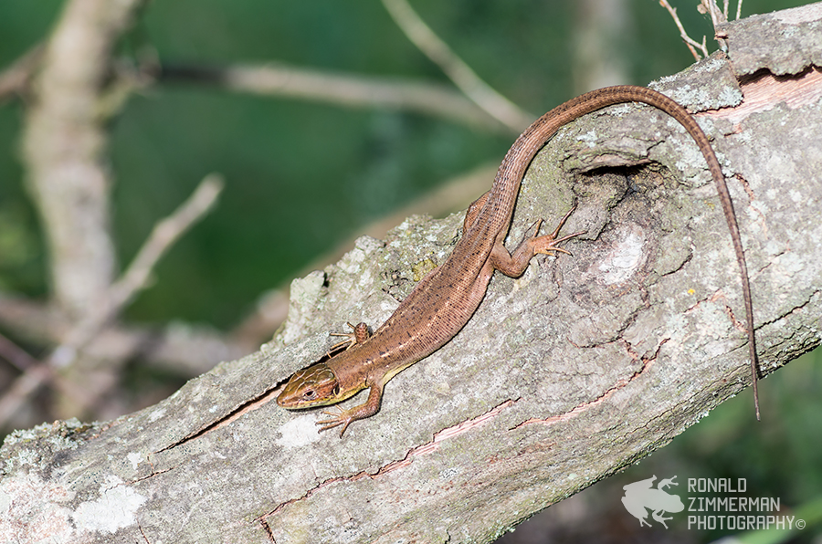Eastern Green Lizard (Lacerta viridis meridionalis)