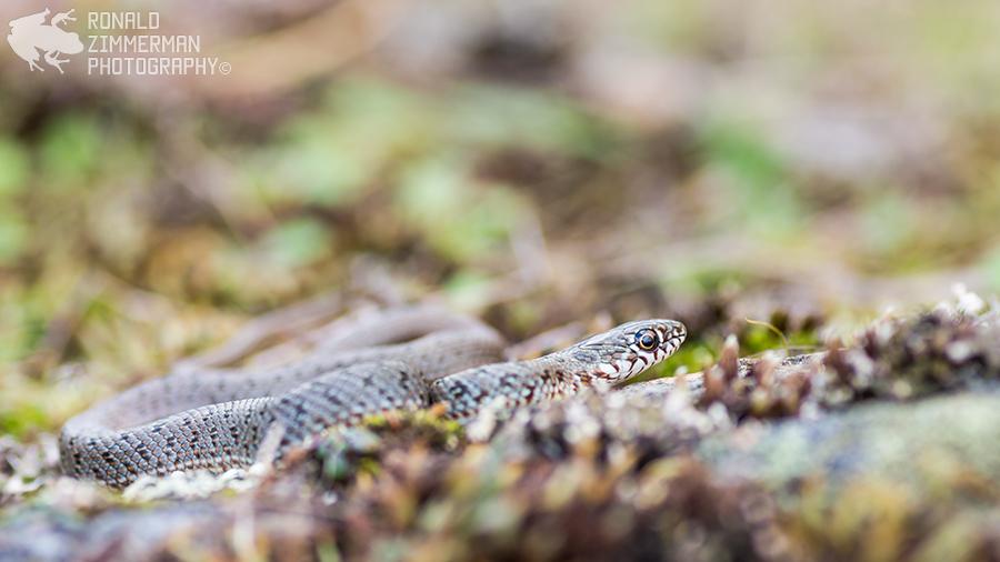 Caspian Whip Snake (Dolichophis caspius) juv.-74