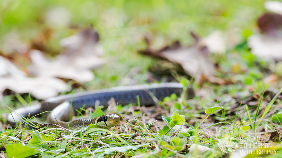 Aesculapian Snake (Zamenis longissimus) juv.
