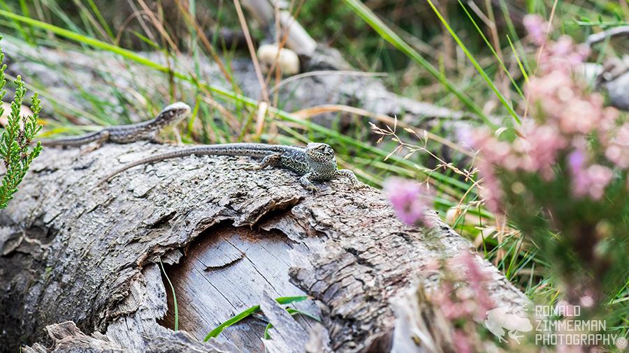 Sand Lizards (Lacerta agilis)