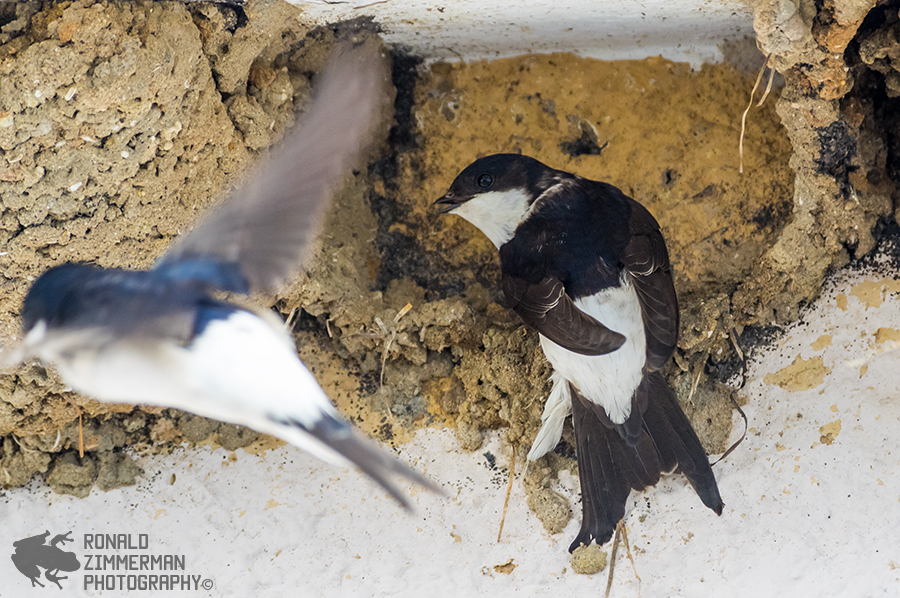 Common House Martin (Delichon urbicum)