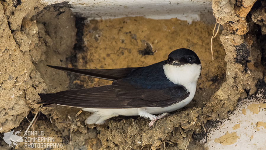 Common House Martin (Delichon urbicum)-3