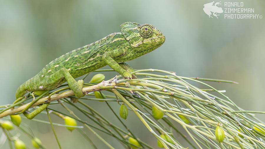 Common Chameleon (Chamaeleo chamaeleon)-31
