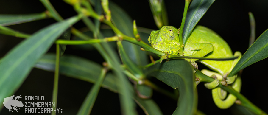 Common Chameleon (Chamaeleo chamaeleon) in situ