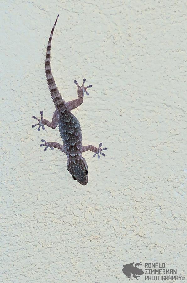 Common Wall Gecko (Tarentola mauritanica)