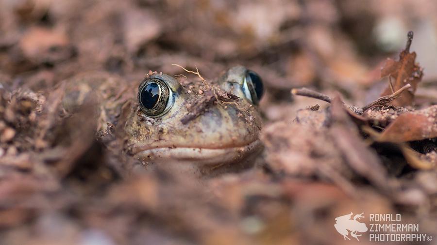 Iberian Spadefoot Toad (Pelobates cultripes)