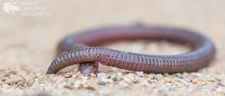 Iberian Worm Lizard (Blanus cinereus)
