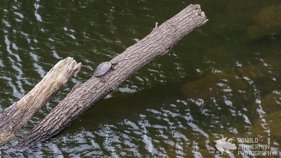 Spanish Pond Turtle (Mauremys leprosa)