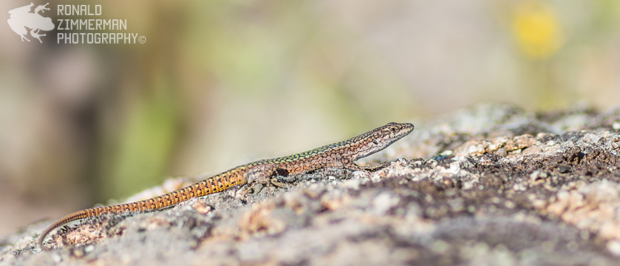 Iberian Wall Lizard (Podarcis virescens)