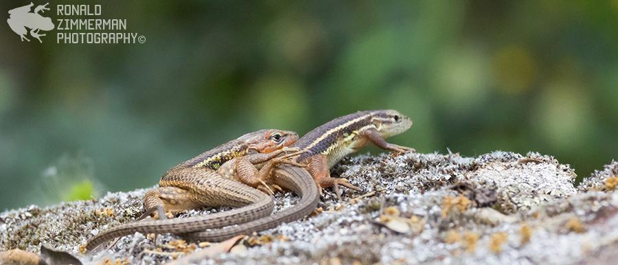 Large Psammodromus (Psammodromus algirus)