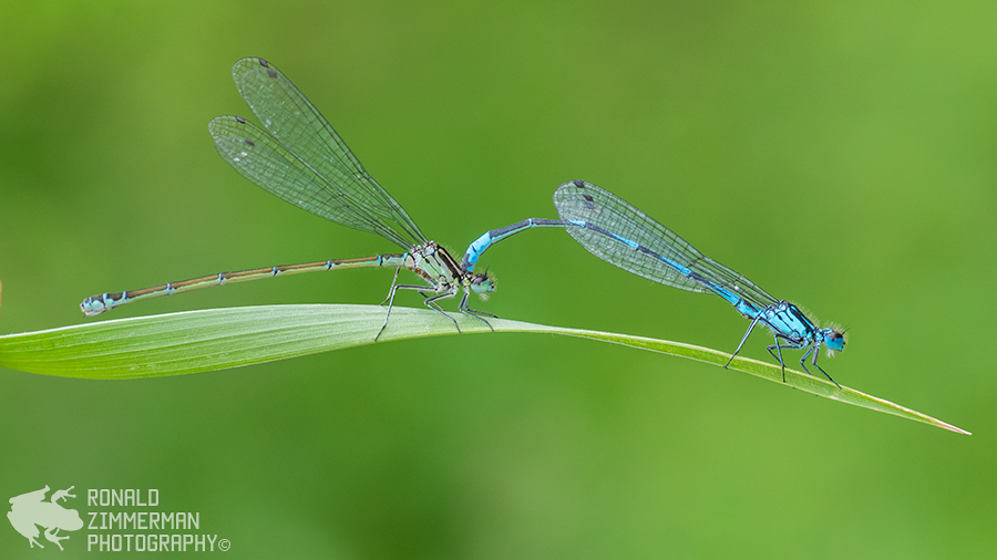 Damselfly sp.