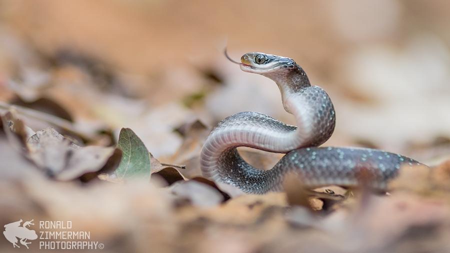 Herald Snake (Crotaphopeltis hotamboeia)