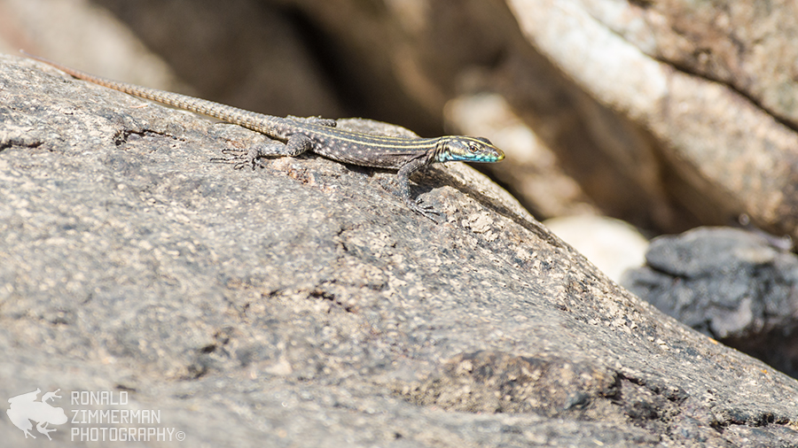 Mitchell's flat lizard (Platysaurus mitchelli)