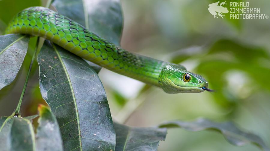 Angola Green Snake (Philothamnus angolensis)-20AngolaGreenSnake