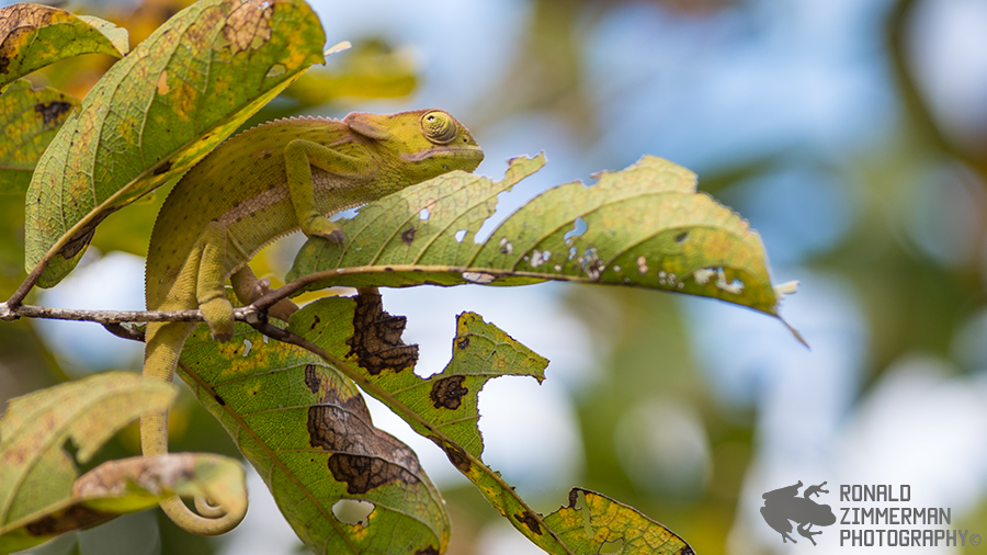 Flap-necked Chameleon (Chamaeleo dilepis) in situ