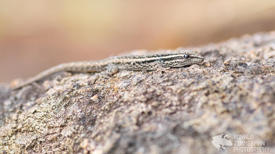 Cape Dwarf Gecko (Lygodactylus capensis)