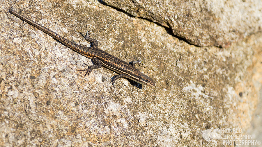 Variable skink (Trachylepis varia)