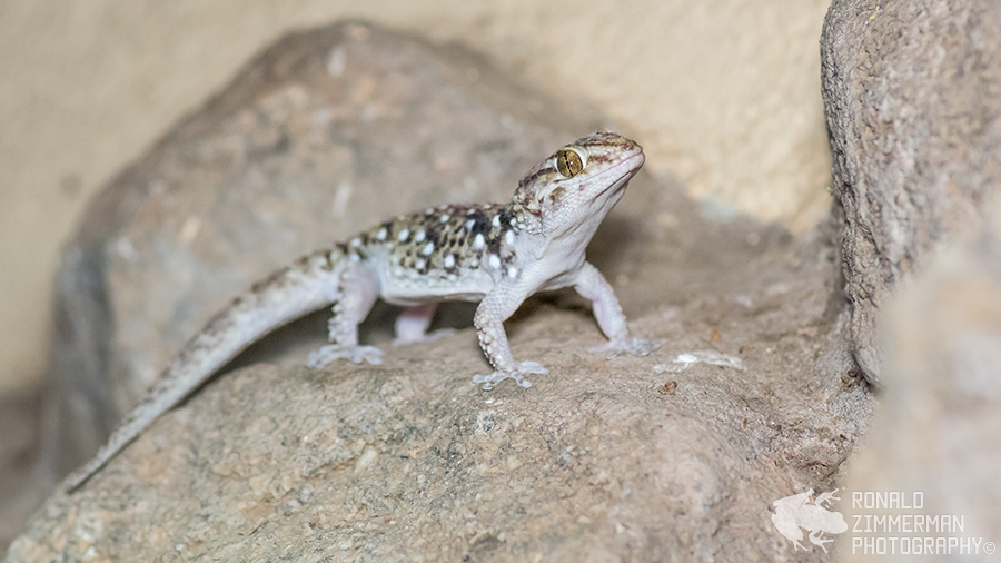 Turner's Tubercled Gecko (Chondrodactylus turneri)