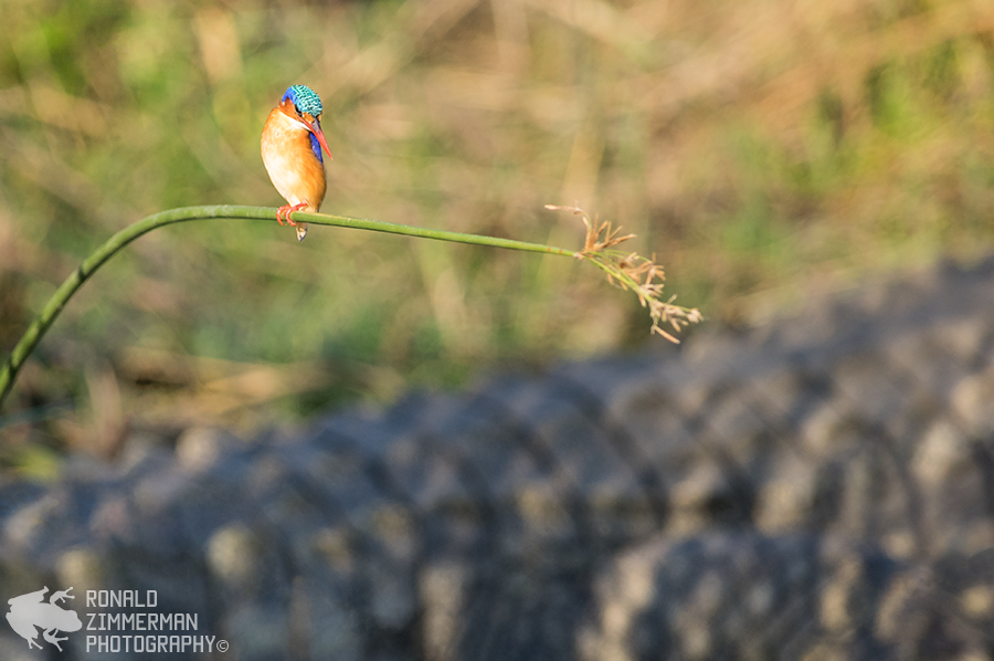 Malachite Kingfisher (Alcedo cristata) guarding a Nile Crocodile (Crocodylus niloticus)