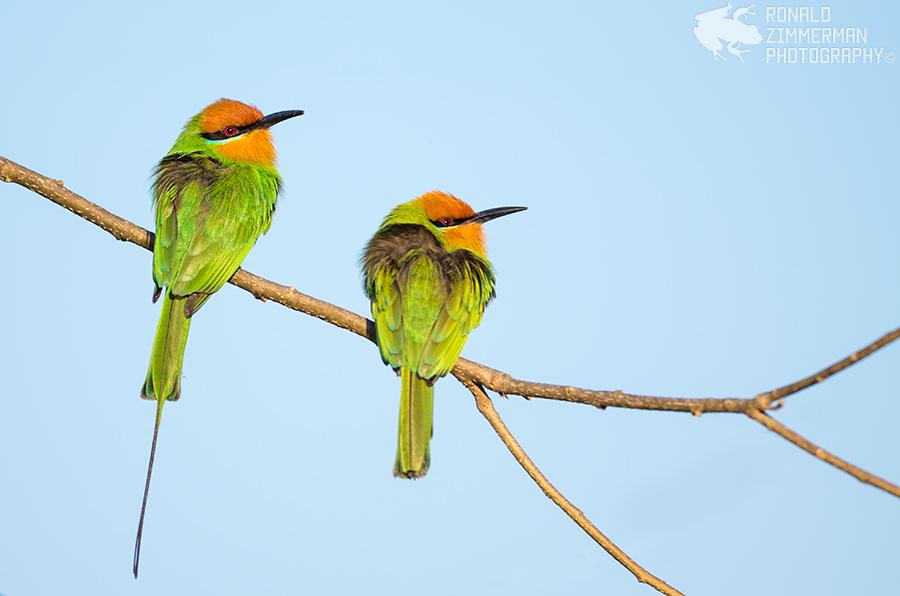 Böhm's Bee-eater (Merops boehmi)