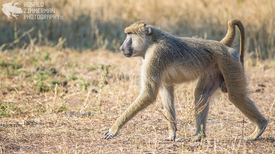 Yellow Baboon (Papio cynocephalus)