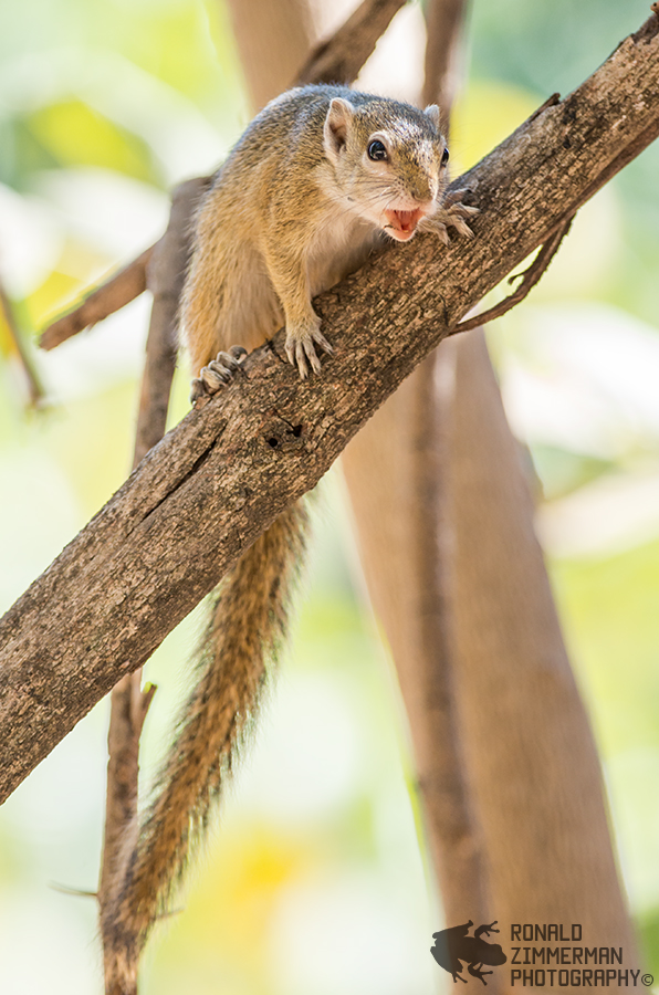 Alarming Tree Squirrel (Paraxerus cepapi)