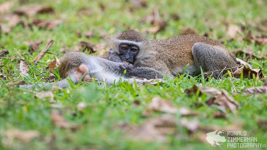 ervet Monkeys (Chlorocebus pygerythrus)