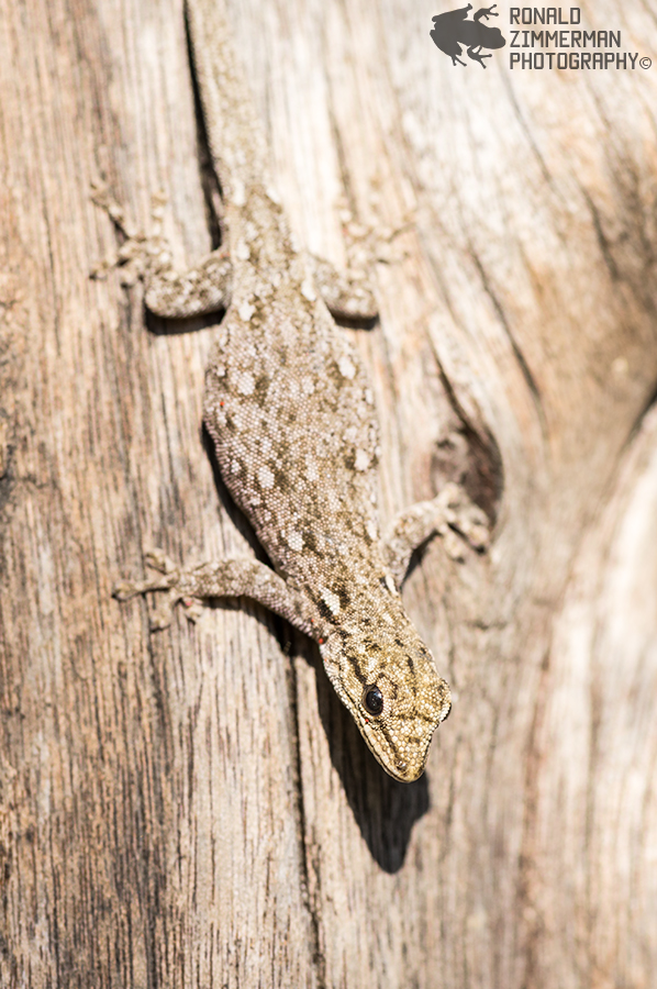 Angola Dwarf Geckos (Lygodactylus angolensis)