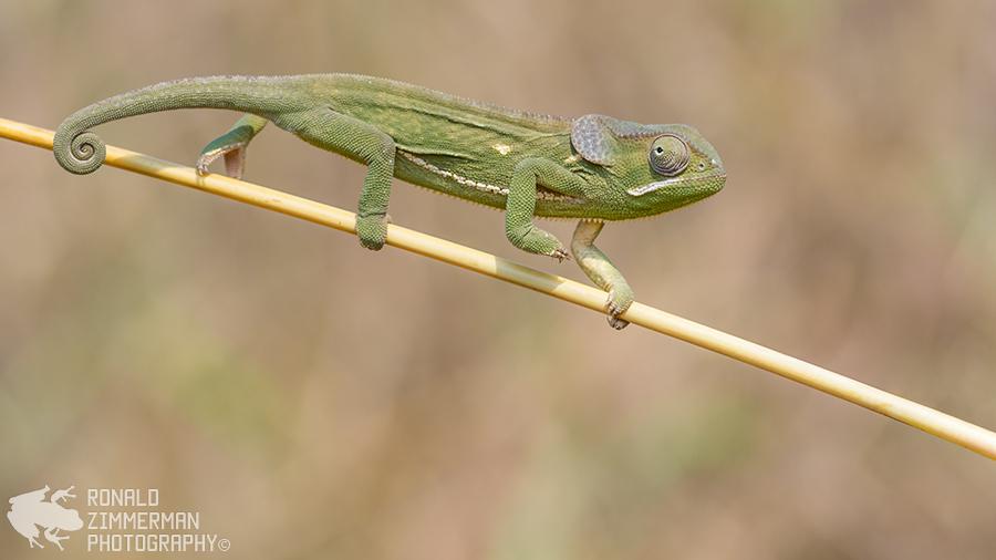 Flap-necked Chameleon (Chamaeleo dilepis)