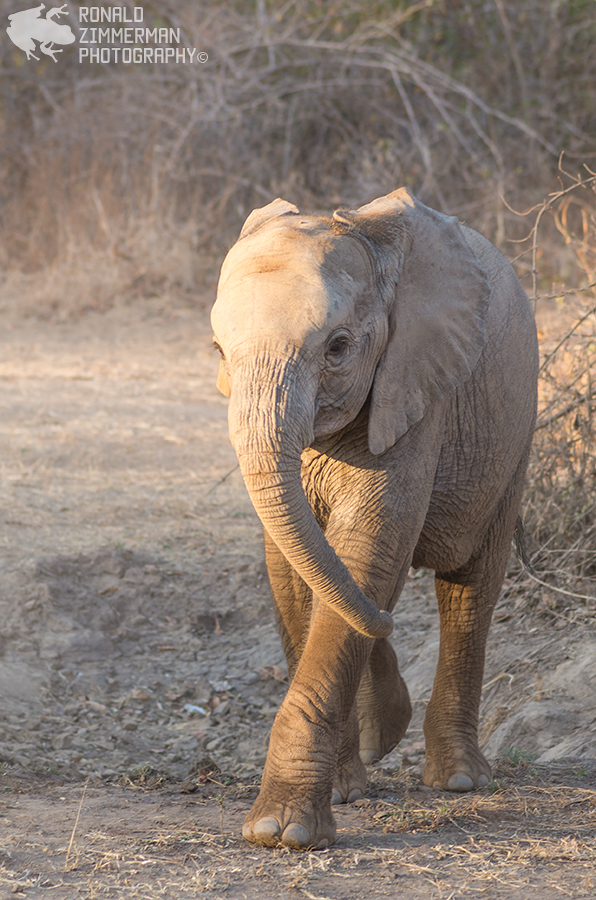 Young African Elephant (Loxodonta africana)