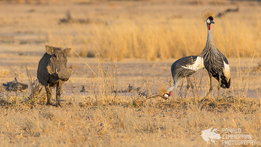 Warthog (Phacochoerus africanus) and Grey Crowned Crane (Balearica regulorum)