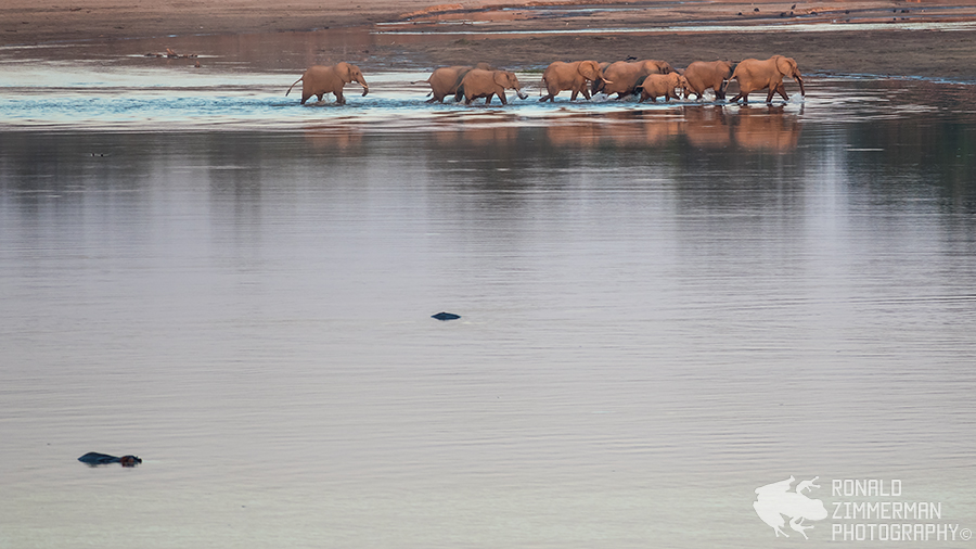 African Elephants (Loxodonta africana) crossing the river