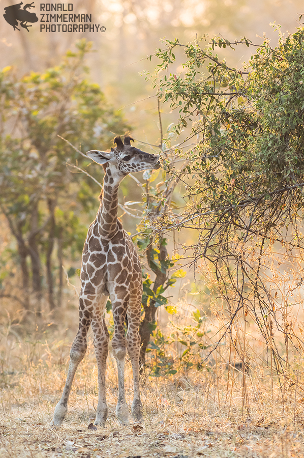Thornicrofts Giraffe (Giraffa camelopardalis thornicrofti)