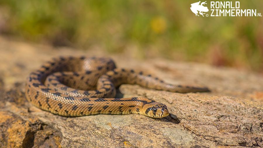 Ladder Snake (Rhinechis scalaris) juvenile