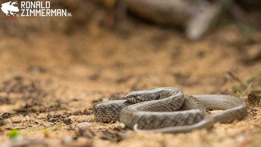 Iberian False Smooth Snake (Macroprotodon brevis)