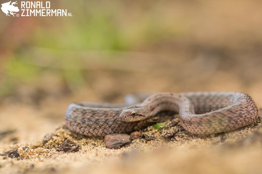 Southern Smooth Snake (Coronella girondica) juvenile