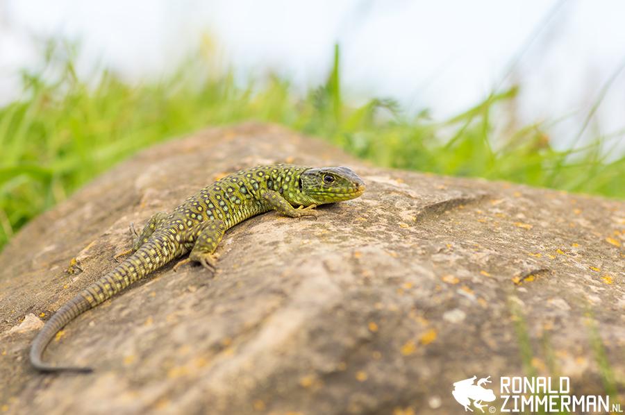 Ocellated Lizard (Timon lepidus) juvenile