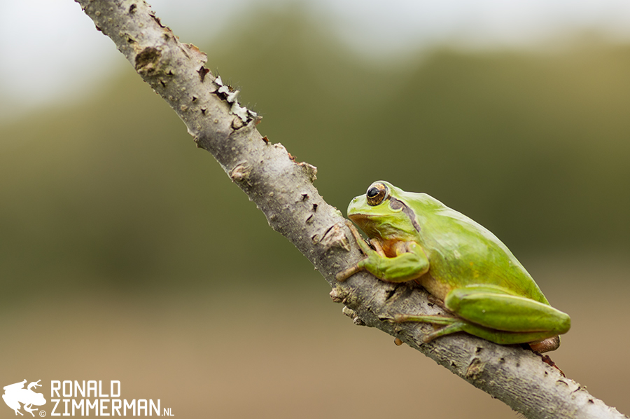 Stripeless Tree Frog (Hyla meridionalis)
