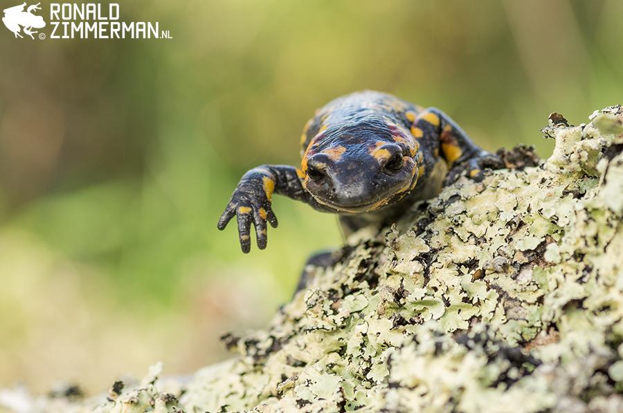Fire Salamander (Salamandra salamandra crespoi)