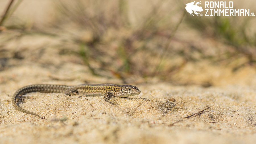 Carbonell's Wall Lizard (Podarcis carbonelli)