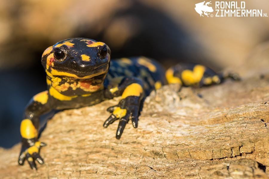 Fire Salamander (Salamandra salamandra crespoi x gallaica)