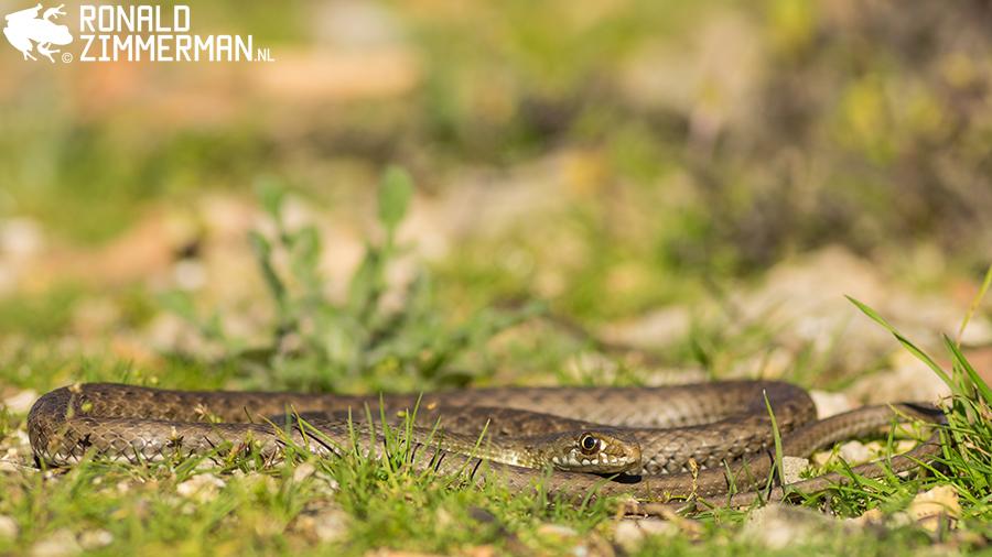 Western Montpellier Snake (Malpolon monspessulanus)